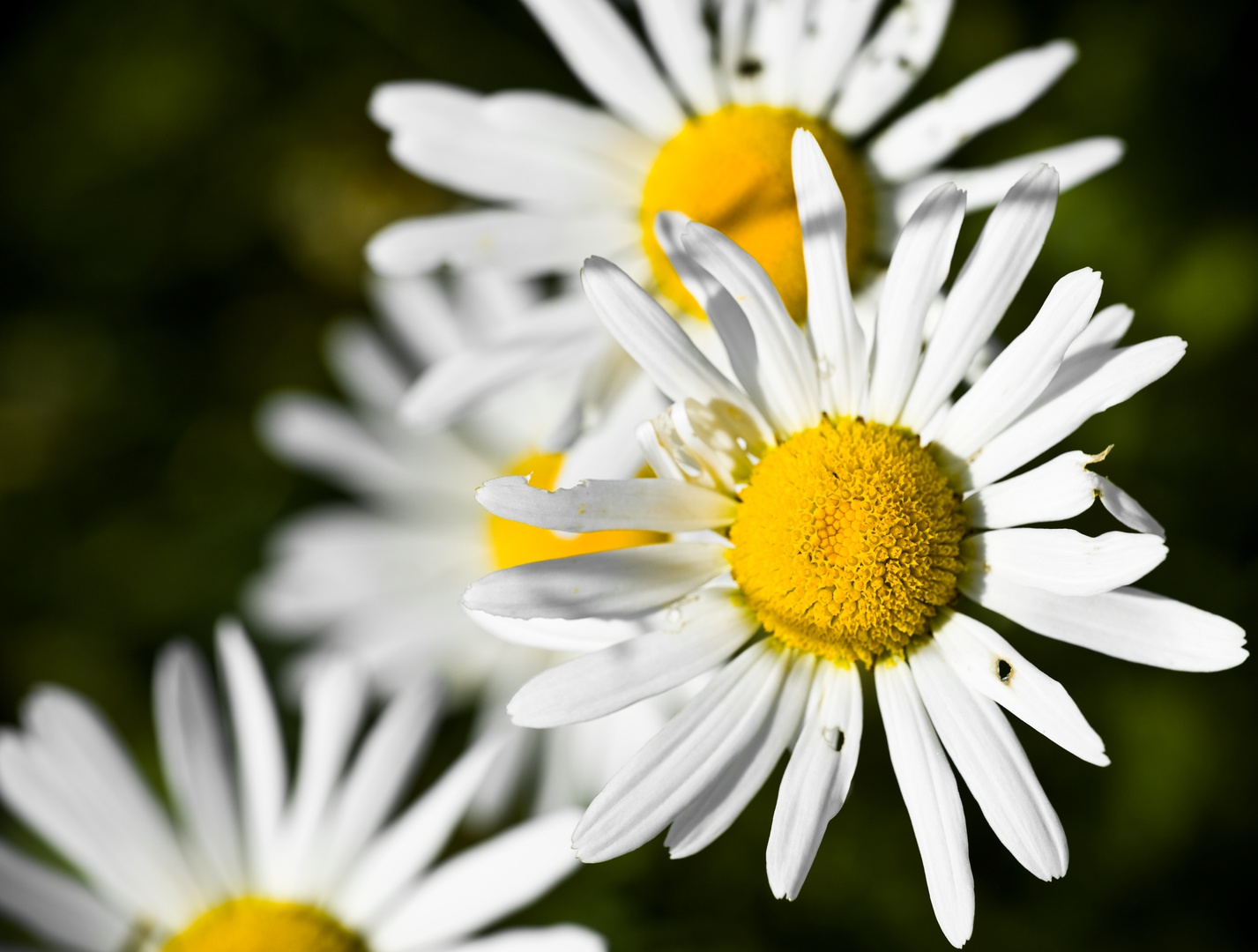 Marguerite in Decay